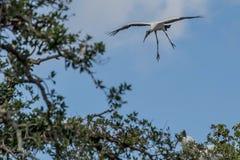 Landning f?r Wood stork royaltyfri bild
