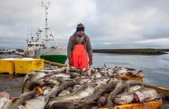 Landningar av torskfisken i Island Arkivfoto