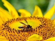 Landningbi med den blommande solrosen Royaltyfria Foton