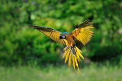 Landningblått-och-guling ara - munkhättaararauna Fotografering för Bildbyråer