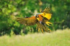 Landningblått-och-guling ara - munkhättaararauna Royaltyfria Foton