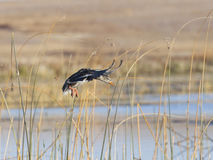 Landninggräsandhöna Royaltyfri Foto