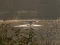 Landningsögonblick - vit svan Arkivbild