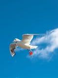 LandningSeagull Royaltyfri Bild