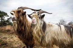 Landrace Goats Stock Images