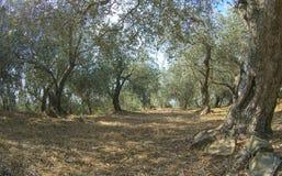 Landsacape von Ligurier Olivenbäumen stockbilder