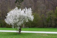 Landscap de florescência branco brilhante do sumário do campo do parque do contraste da árvore imagens de stock