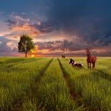 Landscape с зелеными полем, дорогой и лошадями Стоковая Фотография