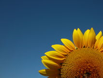 Landscape_005. Sunflower against a blue sky Royalty Free Stock Photos