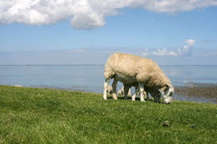 Landscape. Sheep walking and grazing at the borders of the wadden sea in Friesland(Holland Stock Photo