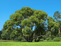 Landscape. Branchy tree on a glade in the park Stock Image