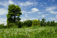Landscape. With clover field, tree and blue sky Royalty Free Stock Photo