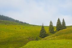 Landscape. Firs and sheeps on the hills in the summer Royalty Free Stock Images