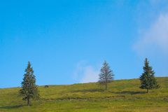 Landscape. Firs on the hill in the summer Royalty Free Stock Photography