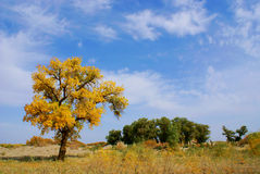 Landscape. Of diversifolia populus in autumn. Inner Mongolia. China royalty free stock photography