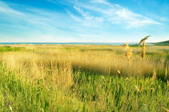 The landscape. The bulrush on background sky Royalty Free Stock Image