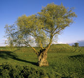 Landscape. With willow tree motte and bailey earthwork yelden bedfordshire england uk europe Stock Photography