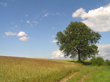 Landscape. Summer landscape with lonely tree Stock Images