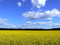 Landscape. Lithuanian landscape with blossoming colza and sky with blue cloouds Stock Photography
