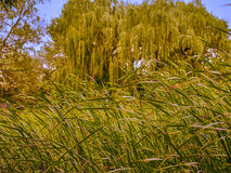 Landscape abandoned park. Overgrown with reeds lake weeping willow Stock Photography