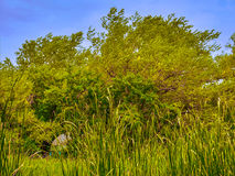 Landscape abandoned park. Overgrown with reeds lake weeping willow Stock Image