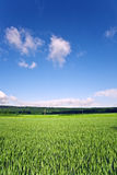 Landscape with acres,corn and white clouds Royalty Free Stock Image