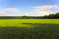 Landscape with acres,corn and white clouds Stock Images