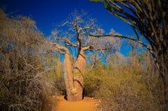 Landscape with Adansonia grandidieri baobab tree in Reniala national park, Toliara, Madagascar royalty free stock photography
