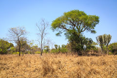 Landscape of African grassland with cactus trees Stock Images
