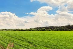Landscape Agricultural field background with green young plants growing on bright sunny day. Forest belt line and blue cloudy sky. On background nature royalty free stock image