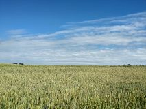Landscape - agricultural field with young ears of wheat, green plants and beautiful sky.  stock photo