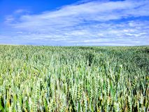 Landscape - agricultural field with young ears of wheat, green plants and beautiful sky.  royalty free stock images