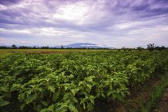 Landscape agriculture eggplant farm with mountain backdrop.  royalty free stock image