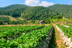 Landscape of agriculture organic field. royalty free stock image