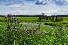 Meadow with fence and purple flowers in Alblasserdam, mill of Bleskensgraaf,  The Netherlands. royalty free stock images