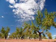 Almond grove. Landscape with almond and sky with clouds royalty free stock photo