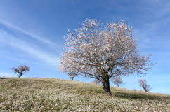 Landscape with almond trees in bloom Stock Photography