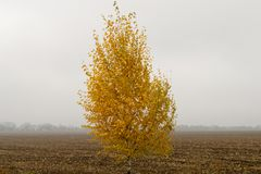Landscape with alone yellow birch at plowed field background on a cloudy day. In golden autumn royalty free stock photography