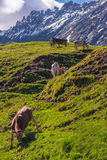 Landscape in the Alps with grazing cows Royalty Free Stock Images