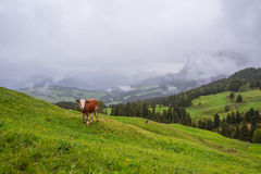 Landscape in the Alps with grazing cows Stock Photos