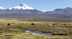 Landscape of the Andes Mountains, with llamas grazing. Royalty Free Stock Photography