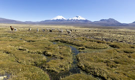 Landscape of the Andes Mountains, with llamas grazing. Royalty Free Stock Image