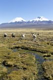 Landscape of the Andes Mountains, with llamas grazing. Stock Images