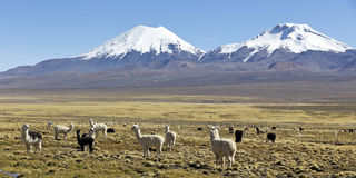 Landscape of the Andes Mountains, with llamas grazing. Stock Photos