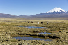 Landscape of the Andes Mountains, with llamas grazing. Stock Image