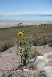 Landscape Antelope Island. Sunflower, Lansdcape on Antelope Island, Salt Lake City, Utah Stock Photos