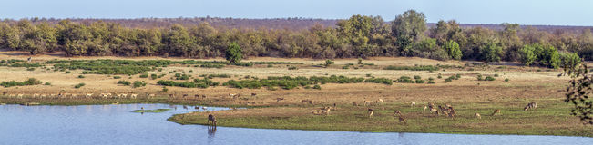 Landscape with antelopes in Kruger National park, South Africa Stock Images