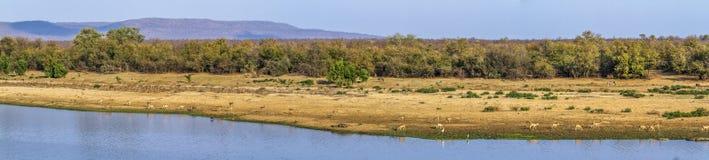Landscape with antelopes in Kruger National park, South Africa Stock Image