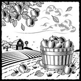 Landscape with apple harvest black and white. Retro landscape with apple harvest in woodcut style. Black and white  illustration with clipping mask Royalty Free Stock Photos