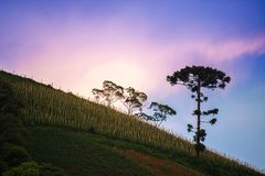 Landscape with araucaria tree and sunset as background. Landscape with araucaria tree as background on the sunset Stock Photography